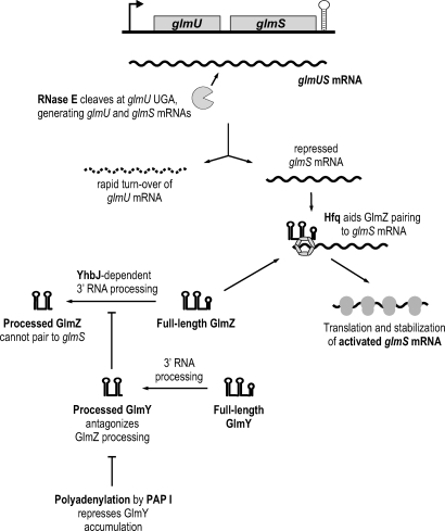 Pathways of glmS Activation by GlmY and GlmZ RNAs in E. coliModel summarizing the findings of this and previous studies [3–5]. See Discussion for details.