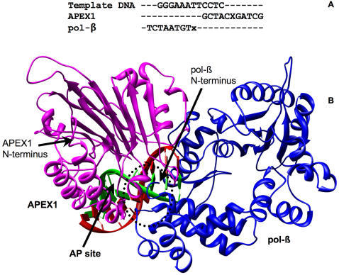 Initial 5′ complex of APEX1 and pol-β (open conformation) constructed on a straight DNA.(A) Alignment of 12-mer template DNA and DNAs co-crystallized with pol-β and APEX1. X stands for the abasic site and x stands for lesion. (B) View of the structure of the complex. APEX1 is on the right and pol-β is on the left. The area of protein-protein interaction is circled.