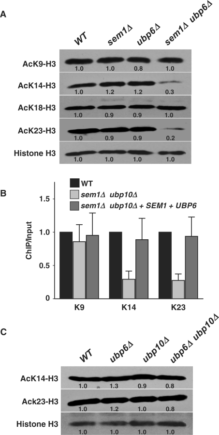 Sem1p and Ubp6p mediate histone H3 acetylation. (A) Loss of Sem1p and Ubp6p results in reduced acetylation of K14 and K23 on histone H3. (B) Deletion of SEM1 and UBP6 causes reduction of H3 K14 and K23 acetylation in the telomere. (C) The ubp6Δ ubp10Δ mutant is able to acetylate K14 and K23. Global steady-state levels of acetylation of different residues were determined using site-specific antibodies. Western blotting analysis and quantitation were performed as described for Figure 3. The ChIP assay was performed as described for Figure 2. Standard deviations were calculated from three replicates. Genotypes of yeast strains are indicated on the top. VIR, right end of chromosome VI; WT, wild-type.
