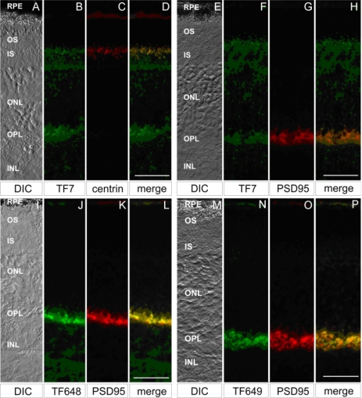 Different CDH23 protein isoforms localize to distinct cell layers of the retina. A, E, I, and M are differential interference contrast (DIC) images of longitudinal cryosections (B-D, F-H, J-L and N-P, respectively) through adult mouse retina showing photoreceptors cell layers. Indirect immunofluorescence labeling of CDH23 with the cytoplasmic domain antibody TF7 (B) revealed CDH23 in the ciliary region of photoreceptor cells, the ONL, and in the OPL. Double labeling with antibodies TF7 and centrin, a ciliary marker (C), revealed colocalization of CDH23 and centrin in the ciliary apparatus of the photoreceptor cells (D). F-H: Double labeling with antisera TF7 (F) and the synaptic protein PSD-95 with antisera PSD95 (G) revealed CDH23 colocalization with PSD-95 in the synaptic terminals in the OPL of photoreceptors cells (H). Double labeling with CDH23_V3 specific antibodies TF648 and TF649 (J, N) and PSD95 (K, O) revealed that CDH23_V3 was detected only in the OPL where it colocalized with PSD-95 (L, P). Scale bars represent 10 µm. Abbreviations: retinal pigment epithelium (RPE), outer segment (OS), inner segment (IS), outer nuclear layer (ONL), outer plexiform layer (OPL), and inner nuclear layer (INL).