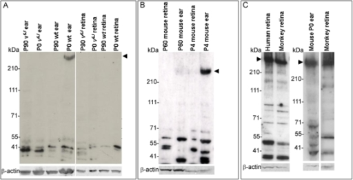 Primate and mouse CDH23 protein in inner ear and retina. A-C: western blot analyses of proteins separated on 3%–8% tris-acetate gels using the cytoplasmic domain antibody, TF7. A: Western analysis, using protein extracts from P0, and P90 wild-type and mutant mouse inner ear and retina. An approximately 350 kDa band corresponding to the largest CDH23 protein isoform was only detected in P0 mouse inner ear (arrow head). Faster migrating protein bands were present in wild-type and Cdh23v-6J and may represent lower molecular weight CDH23 protein isoforms (such as CDH23_V3). Tissue specific variation of these isoforms is better visualized in the western blot shown in panel B. B: Western analysis, using protein extracts from P4, and P60 wild-type mouse inner ear and retina. The high molecular weight band at roughly 350 kDa (arrowhead) was detected in the P4 inner ear protein sample. Traces of this band were also detected in the P60 inner ear protein sample. The faster migrating bands detected show variability in their appearance between young and adult tissue as well as variability between the inner ear and retina. C: Western analysis, using protein extracts from P0 mouse retina, human retina, and monkey retina. The high molecular weight band (arrow head A-C) detected in P0 wild-type mouse inner ear corresponds in size to the largest band detected in human and monkey retinas (arrowhead). β-actin was used as a loading control; size standards are given in kDa.