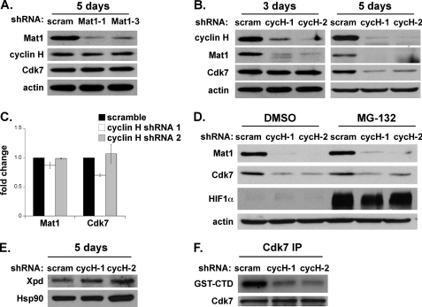 Cyclin H is critical for the stability of Mat1 and Cdk7 and Cdk7 kinase activity. A, Western blot of CAK components after 5 days of Mat1 knockdown. B, Western blots of the subunits of the CAK complex 3 and 5 days after cyclin H knockdown. C, QRT-PCR of Mat1 and Cdk7 after 5 days of cyclin H knockdown. (n = 3 ± 1). D, Western blot of Mat1, Cdk7, and HIF1α 5 days after cyclin H depletion, comparing cells treated with dimethyl sulfoxide (DMSO) or MG-132 (4 h). E, Western blot of core TFIIH component Xpd after cyclin H knockdown for 5 days. F, kinase assay of immunoprecipitated (IP) Cdk7 after 3 days of cyclin H knockdown with GST-CTD as a substrate (upper panel). Equivalent quantities of Cdk7 were immunoprecipitated (lower panel). scram, scramble; cycH-1, cyclin H shRNA 1; cycH-2, cyclin H shRNA 2.
