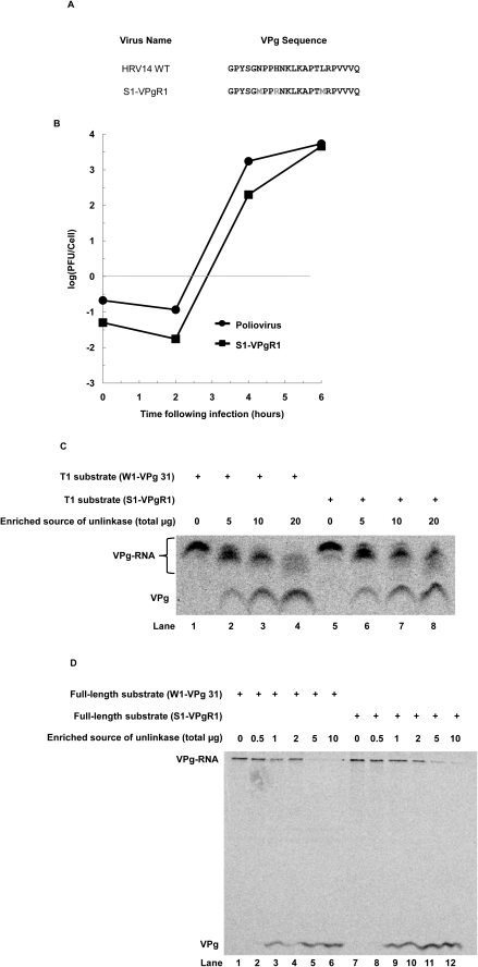 Unlinkase activity on a poliovirus versus a rhinovirus substrate.(A) VPg sequences of HRV14 and S1-VPgR1 (wild type poliovirus mutated to encode an HRV14 VPg that encodes two methionine residues). (B) Single-cycle growth assay of wild type poliovirus (closed circles) and S1-VPgR1 (closed squares). 35S-methionine radiolabeled W1-VPg 31 or S1-VPgR1 substrate that was treated with RNase T1 (C) or untreated (D) was incubated with increasing amounts of total protein from a partially-purified fraction of unlinkase activity (Fraction CA) ((C) 0, 5, 10, and 20 µg and (D) 0, 0.5, 1, 2, 5 and 10 µg) to demonstrate that unlinkase activity recognizes each substrate equally.