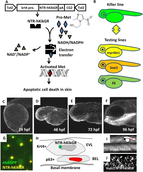 Establishment of Tg(krt4:NTR-hKikGR)cy17 killer line.(A) The work flow to conditionally ablate zebrafish skin using NTR/Met-mediated system. The superficial skin-specific krt4 promoter controls NTR-hKikGR fusion protein. Tol2 transposon elements flank the whole transgene cassette and enhance the germ-line transmission rate. Dimerization of NTR-hKikGR transfers electrons from NADH/NADPH to Met prodrug. Activated Met crosslinks DNA and specifically triggers apoptotic death in skin. (B) The killer line carrying the krt4:NTR-hKikGR transgene was crossed with several testing lines which overexpress human constitutively active myrAkt1 (myrAkt1), mouse constitutively active Stat3 (Stat3), or HPV16 E6 (E6) genes. The double transgenics were then subjected to Met incubation to assay the potential function of apoptosis modulators. (C–F) The ontogenic expression pattern of NTR-hKikGR fusion protein in killer line aged from 24 to 96 hpf. (G) The living fluorescent signals detected in double transgenics from the crossing of the killer line and Tg(krt4:nlsEGFP)cy34 aged at 72 hpf show that the NTR-hKikGR+ signals (yellow) aggregated adjacently to the nlsEGFP+ (green) skin nucleus. (H) Model to illustrate the spatial distribution of NTR-hKikGR fusion protein in zebrafish embryo skin. (I) The native hKikGR protein displays cytoplasmic distribution pattern in the skeletal muscle of Tg(mylz2:hKikGR). The relative position of the captured image is highlighted at the upper right corner. (J) The NTR-hKikGR fusion protein aggregated in skeletal muscle of Tg(mylz2:NTR-hKikGR). EVL, enveloping layer; BEL, basal epidermal layer; Met, metrodinazole.