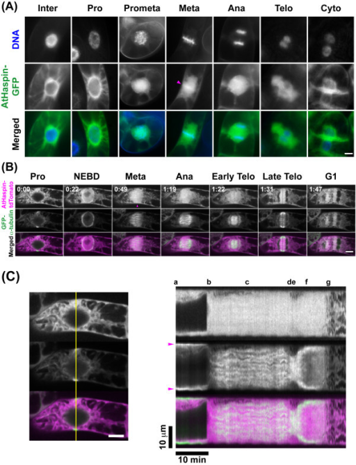 Subcellular localization of AtHaspin in living tobacco BY-2 cells. (A) DNA staining with Hoechst 33342 (top row), GFP fluorescence (middle row), and merged images (bottom row) showing DNA (blue) and GFP (green). Magenta arrowhead indicates fluorescent signal on chromosomes. (B) Live cell imaging was carried out in BY-2 cells expressing GFP-α-tubulin after more than 48-h induction of AtHaspin-tdTomato with 10 μM 17-β-estradiol. Merged images show AtHaspin-tdTomato (magenta) and GFP-α-tubulin (green). Magenta arrowhead indicates fluorescent signal on chromosomes. Numbers indicate time of observation (h: min) in additional file 1. (C) Kymographs representing fluorescence on yellow lines in left column. Arrows indicate PPB. Letters indicate mitotic stages as shown in (B). Scale bars: 10 μm (left), 10 min (bottom).
