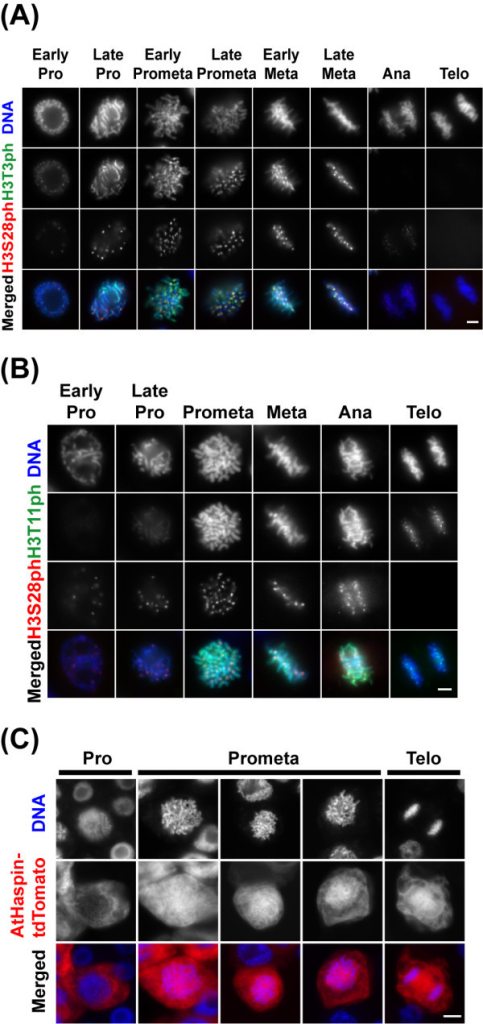 Phosphorylation of histone H3 at Thr3 and Thr11 in vivo. (A, B) Phosphorylation of histone H3 at Thr3 and Thr11 during cell cycle. BY-2 cells immunostained using anti-H3T3ph (A), anti-H3T11ph (B), or anti-H3S28ph antibodies. DNA was stained with DAPI. Merged images of DNA (blue), H3S10ph (red) and H3S28ph (green) are shown in color. Scale bars: 10 μm. (C) After 48-h induction with 10 μM 17-β-estradiol, BY-2 cells inducibly expressing AtHaspin-tdTomato were fixed with 4% (w/v) paraformaldehyde for 20 min. DNA was stained with DAPI. Merged images of DNA (blue) and AtHaspin-tdTomato (red) are shown in color. Scale bars: 10 μm.