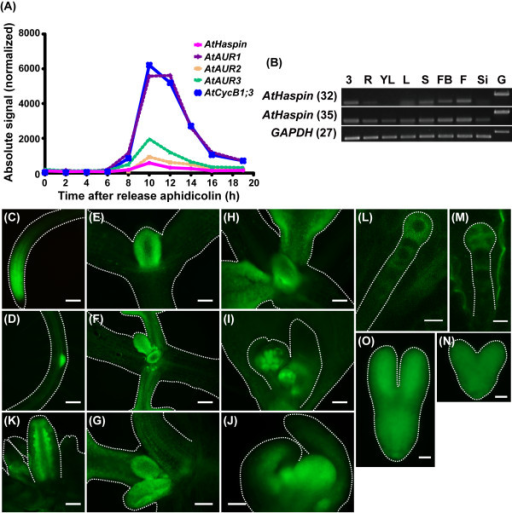 Expression patterns of AtHaspin-GFP in Arabidopsis. (A) Expressions of AtHaspin, AtAURs, and AtCycB1;3 during mitotic cell cycle in synchronized Arabidopsis cultured cells. Expression data were obtained from publicly available microarray data [30]. Figure shows expressions of genes after removal of the DNA synthesis inhibitor, aphidicolin. (B) Total RNA was extracted from 3-day-old seedlings (3), roots (R), young leaves (YL), leaves (L), stems (S), flower buds (FB), flowers (F), siliques (Si), and genomic DNA (G). Expression was monitored by RT-PCR. Number of PCR cycles is shown in parentheses after gene names. GAPDH was used as an internal control. (C-N) Expression of AtHaspin-GFP in root tip (C), lateral root (D), shoot meristem and leaf primordia (E-H), leaf primordia and first true leaves (F, G), leaf primordia and second true leaves (H), inflorescence meristem and floral meristem in cauline leaves (I), floral meristem (J), ovules in closed flowers (K), one-cell stage embryo (L), four-cell stage embryo (M), heart stage embryo (N), and torpedo stage embryo (O). Scale bars: 100 μm (C, D, F, H, I, J), 50 μm (E), 30 μm (G, K), 10 μm (L, M), and 20 μm (N, O).