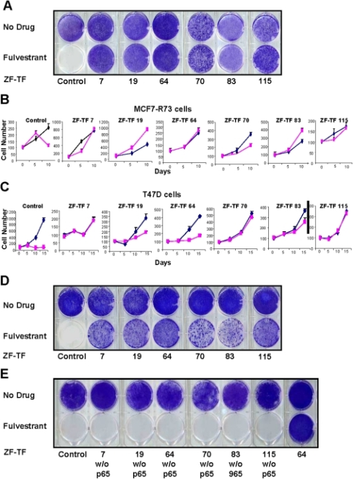 Fulvestrant resistance induced by 6 different ZF-TFs.(A) Drug sensitivity of fulvestrant-selected MCF7 ZF-TF-transduced cells. MCF7 cells transduced with one of six different ZF-TF-expressing retroviruses selected first in puromycin (the transduction selection marker) and then in fulvestrant for 1 month were grown in the absence of fulvestrant for 7 days and then challenged with 100 nM fulvestrant or vehicle (0.1% ethanol) for 21 days followed by crystal violet staining and visualization. Data are representative of triplicate experiments. (B and C) Growth curves of MCF7 and T47D cells in the presence and absence of fulvestrant. Comparison of cell growth rates (cell number, mean +/− SEM, n = 8; time in days as indicated) of MCF7 and T47D cells stably transduced with control retrovirus or one of six different ZF-TF-expressing retroviruses (7, 19, 64, 70, 83 and 115) in the presence (blue line) or absence (pink line) of fulvestrant. (D) Drug sensitivity of fulvestrant non-selected MCF7 ZF-TF cells. MCF7 cells transduced with one of six different ZF-TF-expressing retroviruses and selected in puromycin for 1 month were grown in the absence of fulvestrant for 7 days and then challenged with 100 nM fulvestrant or vehicle (0.1% ethanol) for 21 days followed by crystal violet staining and visualization. (E) Drug sensitivity of MCF cells transduced with ZF-TFs lacking the NF-KB p65 activation domain. MCF7 cells infected with retroviruses encoding ZF-TFs (7,19, 64, 70, 83 and 115) lacking the NF-KB p65 activation domain were selected in puromycin for 1 month and then challenged with 100 nM fulvestrant or vehicle (0.1% ethanol) for 21 days followed by crystal violet staining for visualization.