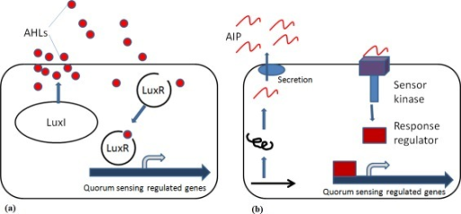 Schematic presentations of bacterial quorum sensing systems. (a) In Gram-negative bacteria, AHLs (filled circles) are produced by the LuxI synthase and will bind to the cognate LuxR receptor. The AHL-LuxR protein complex will bind to promoter DNA elements and regulate transcription of QS-regulated genes. (b) Gram-positive bacteria synthesize AIP (curvy lines) that are post-translationally modified and secreted. AIP detection occurs via a two-component signal transduction circuit, leading to the ATP-driven phosphorylation of a response regulator protein, which then binds to promoter DNA and regulates transcription of QS-regulated genes.