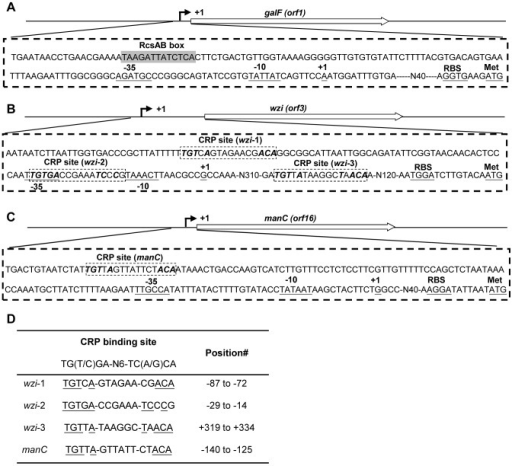 Identification of the transcriptional start sites of 3 transcriptional units in the K2 cps gene cluster by 5′ RACE.The 5′ RACE experimental design for galF (A), wzi (B), and manC (C). Relative positions of the primers used and the expected size of the PCR product are indicated. The transcriptional start site is marked as +1 and underlined. The potential −10, −35, and ribosomal binding sites (RBS) are underlined. The grey box indicates the predicted RcsAB box. The dashed boxes indicate the predicted CRP binding sites. (D) The predicted CRP binding sites in Pwzi and PmanC are aligned against each other. #, the position is relative to the transcriptional start site.