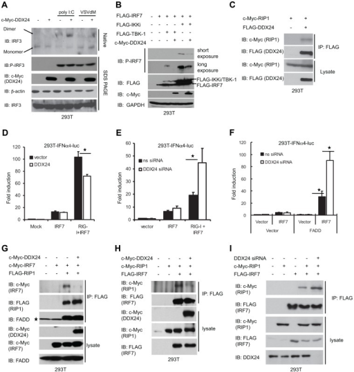 DDX24 interacts with RIP1 and disrupts RLR's activation of IFN-dependent transcription factor IRF7.(A) DDX24's effect on IRF3 phosphorylation. 293T cells transfected with vector or c-Myc-DDX24 were treated with 2 µg/ml poly I:C or infected by VSVdM at MOI 10 for 3 hours. Cell lysates were then prepared, and the dimerization and phosphorylation of IRF3 was analyzed by native or SDS PAGE. (B) DDX24's effect on IRF7 phosphorylation. Immunoblot for detecting IRF7 phosphorylation using 293T cells transfected with c-Myc-tagged DDX24, FLAG-tagged IRF7, TBK-1 and IKKi as indicated. (C) DDX24 interacts with RIP1. 293T cells were transfected with either c-Myc-tagged RIP1 or FLAG-DDX24 as indicated. After 24 h, cells were harvested, and lysates were subjected to co-IP and immunoblotting (IB) with the indicated antibodies. (D) DDX24's effect on RIG-I dependent IFNα4 promoter activation. 293T cells were transfected with IFNα4-luc reporter plasmid and variant plasmids as indicated. Activations of IFNα4 promoter were detected 36 hours post transfection. (E)(F) Loss of DDX24's effect on RIG-I dependent IFNα4 promoter activation. 293T cells were transfected with ns or DDX24 siRNA. Forty eight hours post transfection, cells were transfected with IFNα4-luc reporter plasmid and variant plasmids as indicated. Activations of IFNα4 promoter were detected 36 hours post transfection. (G)(H) DDX24 disrupts RIP1-IRF7 interaction. 293T cells were transiently transfected with variant plasmids as indicated and proper control plasmids. Thirty six hours post transfection, cell lysates were immunoprecipitated (IP) and immunoblotted (IB) using antibodies to c-Myc, FLAG or FADD. (I) Loss of DDX24 enhances RIP1-IRF7 interaction. 293T cells were transiently transfected with ns siRNA or DDX24 siRNA. Forty eight hours later, cells were transfected with variant plasmids as indicated and proper control plasmids. Twenty four hours post transfection, cell lysates were immunoprecipitated (IP) and immunoblotted (IB) using antibodies to c-Myc, FLAG or DDX24.Data from (D)(E)(F) are presented as means±s.e. from three independent experiments. * indicates P<0.05. ** indicates P<0.01.