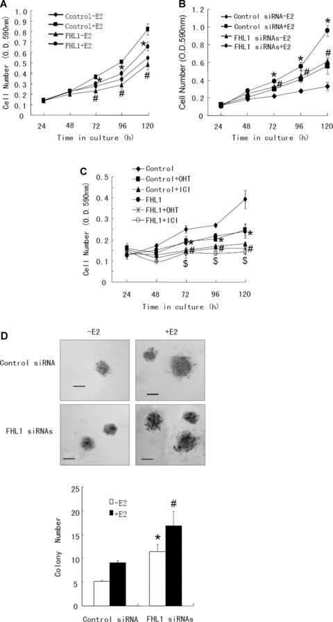 FHL1 inhibits breast cancer cell growth. (A and B) ZR75–1 cells transfected with expression vector of FHL1 (A) or FHL1 siRNAs (B) were treated with or without 1 nM E2 and harvested at the indicated times. Cell number was determined by crystal violet assay. Values shown are mean ± S.D. of triplicate measurements and have been repeated three times with similar results. #P < 0.05 versus empty vector or control siRNA without E2. *P < 0.05 versus empty vector or control siRNA with E2. (C) ZR75–1 cells transfected with expression vector for FHL1 were treated with 100 nM 4-OHT or 100 nM ICI 182,780 in regular medium at the indicated times. Cell number was measured by crystal violet assay. *P < 0.05 versus empty vector without 4-OHT or ICI 182,780. #P < 0.05 versus empty vector with 4-OHT. $P < 0.05 versus empty vector with ICI 182,780. (D) ZR75–1 cells transfected with FHL1 siRNAs or control siRNA were plated in soft agar and assayed for colony number after 5 weeks. Representative images show colonies in soft agar (upper panel). Scale bar: 100 μm. Values shown are mean ± S.D. of triplicate measurements (lower panel) and have been repeated three times with similar results. *P < 0.01 versus control siRNA without E2. #P < 0.01 versus control siRNA with E2.