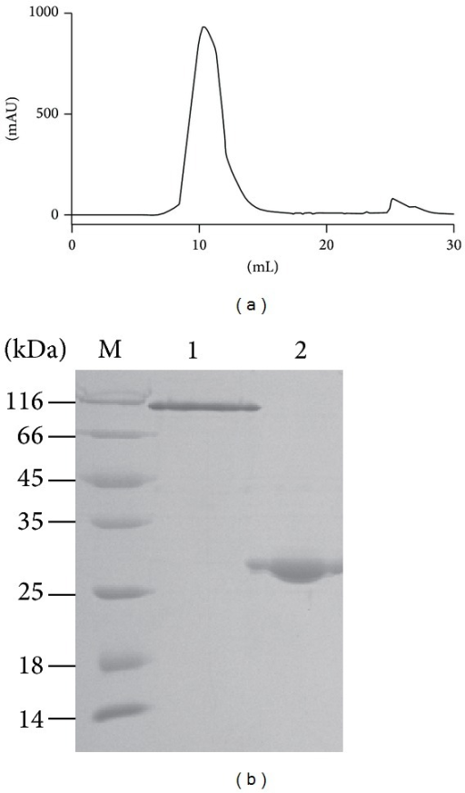 Purification and identification of the secreted Ac-AChBP. (a) Gel filtration chromatography of the Ac-AChBP purification. (b) SDS-PAGE analysis of the Ac-AChBP purification. The nonreduced band was at the top (lane 1), which indicated Ac-AChBP formed pentamer. The reduced band was about 27 KD (lane 2).