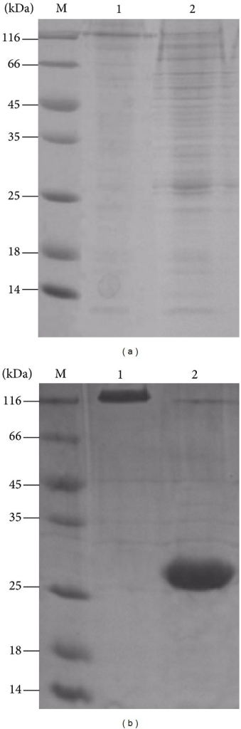 SDS-PAGE analysis of Ac-AChBP intracellular and extracellular expression, (a): Ac-AChBP intracellular expression. Lane 1 nativeAc-AChBP, lane 2 reduced Ac-AChBP, lane M protein marker. (b): Ac-AChBP expression in extracellular. Lane 1 nativeAc-AChBP, lane 2 reduced Ac-AChBP, and lane M, protein marker.