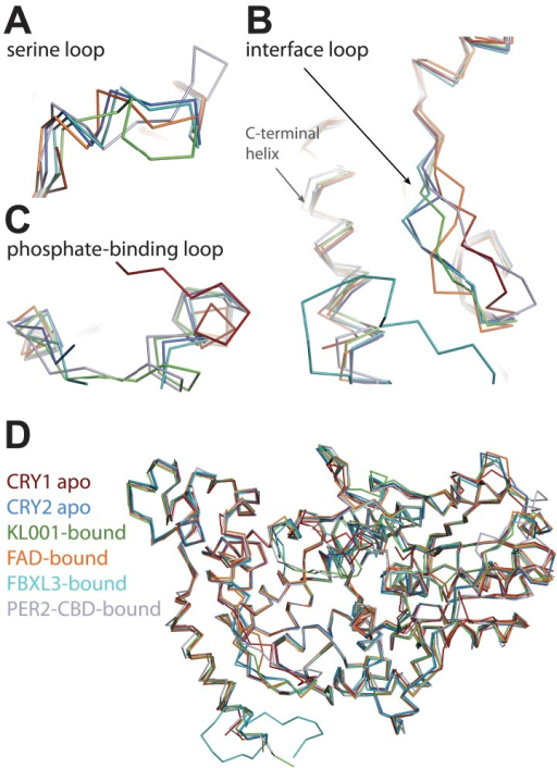 CRY-PHR superposition: including CRY1 apo (red), CRY2 apo (light blue), KL001-bound (green), FAD-bound (orange), FBXL3-bound (cyan), and PER2-CBD-bound (gray) CRY.(A) Serine loop undergoes a large conformational change after PER2-CBD binding. (B and C) The interface loop and phosphate-binding loop are also sites of high structural plasticity. (D) Overall CRY-PHR showing the global structure adopts a common fold.DOI:http://dx.doi.org/10.7554/eLife.03674.013