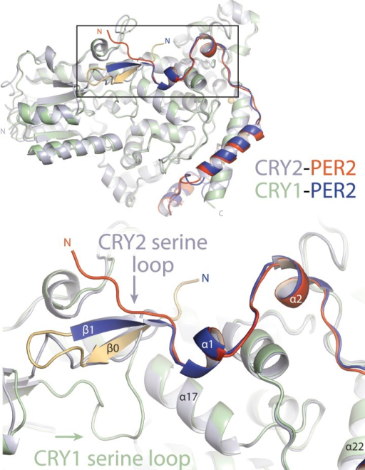 Major differences between CRY1-PER2-CBD and CRY2-PER2-CBD complex structures.Superposition of the two structures reveals major structural dissimilarities between the two paralogs at the CRY secondary pocket and a residual fusion-protein sequence (yellow) in CRY1-bound PER2-CBD. The PER2-CBD (dark blue) N-terminus together with the artifactual sequence (AGLEVLFQGPDSM) forms a β-hairpin and induces an inward conformation of the CRY1 (light green) serine loop.DOI:http://dx.doi.org/10.7554/eLife.03674.014