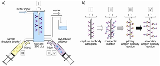 (a) Design of flow-through fluoroimmunoassay system. Bacteria solution and fluorescently labeled antibody are injected with syringes to the flow cell according to each measurement step. (b) The measurement step of the fiber-optic fluoroimmunoassay system. Fluorescent intensities are measured every measurement step, and the concentrations of E. coli O157:H7 are quantified.