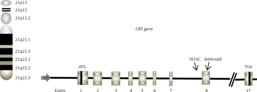 Schematic representation of CBS gene locus on 21 chromosome, indicating position of T833C (intron 7) and 844ins68 (exon 8) polymorphisms