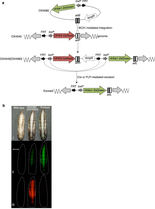 iRMCE in P. xylostella.(a) Schematic diagram of iRMCE in P. xylostella and (b) corresponding fluorescent phenotypes in P. xylostella pupae. Black arrows indicate engineered FRT and loxP sites present in donor and acceptor constructs; AmpR represents the plasmid backbone sequences, which includes the ampicillin-resistance gene; grey arrows indicate piggyBac ends. Pupae are shown under (i) white light, (ii) green excitation light and filters, and (iii) red excitation light and filters. Images (i–iii) were taken under the same magnification. Scale bar repersents 1 mm.