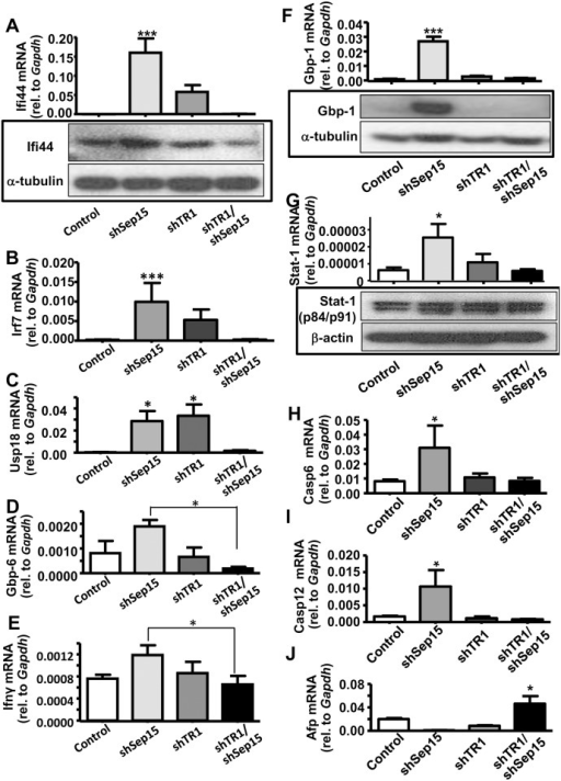 Validation of gene expression for genes significantly changed in shSep15 cells.Expression of (A) Ifi44 mRNA (upper panel) and protein (lower panel); (B) Irf-7 mRNA; (C) Usp18 mRNA; (D) Gbp-6 mRNA; (E) Ifnγ mRNA; (F) Gbp-1 mRNA (upper panel) and protein (lower panel); (G) Stat-1 mRNA (upper panel) and protein (lower panel); (H), Casp6 mRNA; (I) Casp12 mRNA; and (J) Afp mRNA. Expression of mRNA in control, shSep15, shTR1, and shTR1/Sep15 cells was determined by real-time RT-PCR, and expressed relative to Gapdh. Columns, mean (n = 3–6); bars, SE; (*P<0.05, **P<0.01, ***P<0.001). Protein expression was determined by Western blotting, and expressed relative to β-actin or α-tubulin, as indicated.