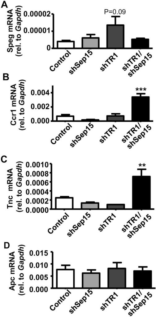 Possible connection to Wnt/β-catenin signaling pathway in shTR1/Sep15 cells.mRNA levels of (A) Speg; (B) Ccr1; and (C) Tnc; and (D) Apc in control, shSep15, shTR1, and shTR1/Sep15 cells, as determined by real-time RT-PCR, and expressed relative to Gapdh. Columns, mean (n = 3–6); bars, SE; (**P<0.01, ***P<0.001).