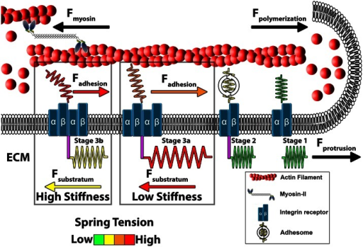 Model of growth cone traction forces on high and low compliant substrata. Distal to the leading edge, active myosin-II generates contractile forces (Fmyosin) that pulls F-actin rearward. In addition, actin polymerization at the leading edge pushes against the plasma membrane to propel F-actin rearward (Fpolymerization). These forces integrate to drive constitutive retrograde flow (RF) of F-actin filaments at the leading edge. Stage 1 (ligand unbound). The molecular clutch is disengaged in the absence of integrin activation and clustering leading to rapid RF due to unrestrained Fmyosin and Fpolymerization. Stage 2 (ligand bound). Upon contact with extracellular matrix (ECM) proteins, integrin receptors become activated, cluster and begin recruiting adhesome-related adaptor and signaling proteins. Stage 3 (clutching). Mature point contact adhesions link with actin filaments (Fadhesion) to restrict RF and generate traction forces (Ftraction) on the substratum. Therefore, forces generated by clutching of RF are distributed between traction forces with the ECM, adhesive forces on point contacts and protrusive forces at the leading edge. Conditions that maintain clutching of RF produce robust protrusion. Stage 3a (low substratum stiffness). On soft substrata, Ftraction forces are distributed to the elastic substrata at point contact adhesions through substratum displacement, which reduces Fadhesion at point contact adhesions. Lower Fadhesion at point contacts prevents clutch slippage (breaking), leading to increased protrusion and growth cone translocation. Stage 3b (high stiffness). Little displacement of the ECM occurs on rigid substrata. Subsequently, most force of RF is transferred to Fadhesion at point contacts during clutching. The increased force on adhesions results in breaking or disassembly of point contacts via molecular stretching or activation of cellular signals. Fewer and short lived point contacts on rigid ECM disrupts clutching forces necessary for membrane protrusion and rapid outgrowth.