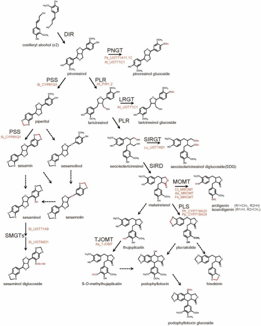 Biosynthesis Pathways of Major Lignans. Chemical Conversions at Each Step are Indicated in Red. Solid and Broken Lines Represent Identified and Unidentified Enzyme-catalyzed Reactions, Respectively.