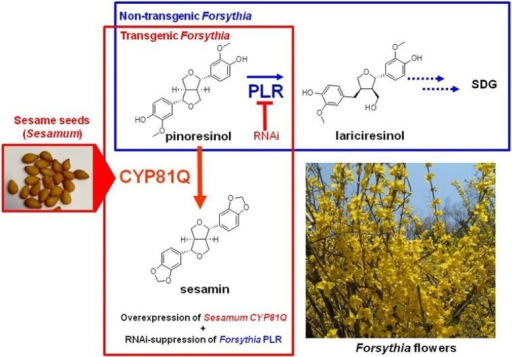 Metabolic Engineering of Forsythia Suspension Cell Cultures. The Transgenic Forsythia Suspension Cell Culture, CPi-Fk cells, Acquired the Ability to Produce Sesamin by Stable Transfection of PLR-RNAi and the SesamumCYP81Q1 Gene.