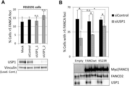 Deubiquitination of FANCI by USP1 is required for FA core complex foci formation.(A) FANCI-deficient F010191 cells were transfected with the indicated siRNAs, treated with MMC and then fixed and stained with FANCA antibody. Percentage of cells containing 5 or more foci is shown (n = 3, mean ± SD). (n.s.) indicates no statistical significance. Protein extracts were subjected to western blotting to confirm depletion of USP1 (lower panel). (B) U2OS cells transduced with the indicated constructs were transfected with the siControl or siUSP1. 48h later they were treated with MMC and then fixed and stained with FANCA antibody. Upper panel shows percentage of cells containing 5 or more foci (n = 3, mean ± SD). (*) Indicates p<0.05. (n.s.) indicates no statistical significance. Lower panel shows protein extracts from the same experiment subjected to western blotting.