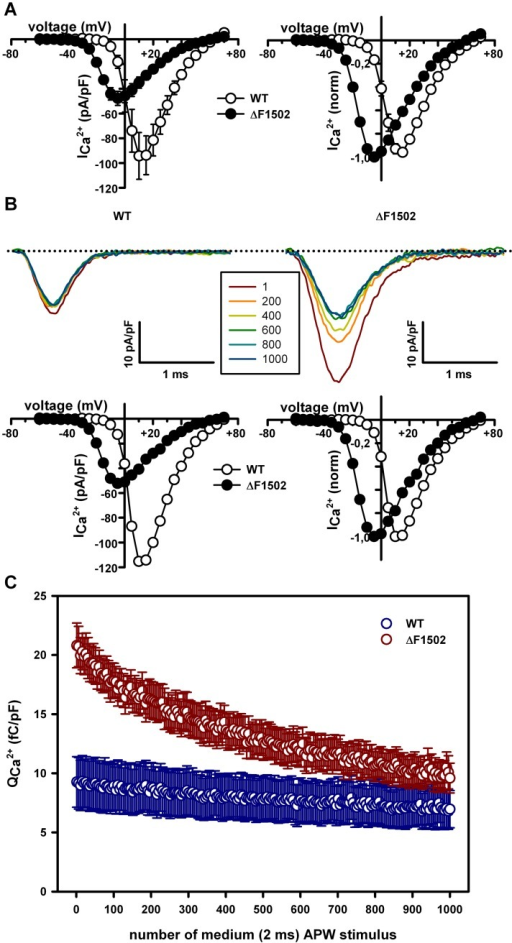 ΔF1502 effects on Ca2+ influx evoked by a 42 Hz train of 2 ms action potential-like waveforms (APWs).(A) Average current density-voltage relationships (left) and normalized I-V curves (right) for WT (open circles, n = 10) and ΔF1502 (filled circles, n = 11) CaV2.1 channels expressed in tsA-201 HEK cells, before stimulation with a 42 Hz train of 2 ms APWs. In this series of experiments, maximal Ca2+ current density through CaV2.1 channels is still significantly reduced by ΔF1502 (left panel: from -94.26 ± 18.9 pA/pF (for WT, n = 10) to -47.76 ± 5.7 pA/pF (for ΔF1502, n = 11), P < 0.05, Student's t test) and the significant left-shift induced by ΔF1502 on the CaV2.1 voltage-dependent activation is also noticed (right panel: WT V1/2 act = 2.32 ± 1.18 mV (n = 10) versus ΔF1502 V1/2 act = -17.74 ± 0.35 mV (n = 11), P < 0.0001, Student's t test). (B) Representative Ca2+ current traces evoked by every 200th pulse of a 42 Hz train of medium (2 ms) APWs (see Materials and Methods for details) obtained from two tsA-201 HEK cells expressing either WT (left) or ΔF1502 (right) CaV2.1 channels. Dotted lines stand for the zero current level. The corresponding current density-voltage relationships (left) and normalized I-V curves (right), obtained from these two cells before stimulation with a 42 Hz train of 2 ms APWs, are shown at the bottom (maximal Ca2+ current density through WT and ΔF1502 CaV2.1 channels are -115.28 pA/pF and -52.27 pA/pF, respectively; V1/2 act values for WT and ΔF1502 CaV2.1 channels are 2.52 mV and -17.23 mV, respectively). (C) Average data for Ca2+ influx normalized by cell size (QCa2+) in response to every 5th pulse of a 42 Hz train of medium (2 ms) APWs, obtained from cells expressing WT (blue symbols, n = 10) or ΔF1502 (red symbols, n = 11) CaV2.1 channels.
