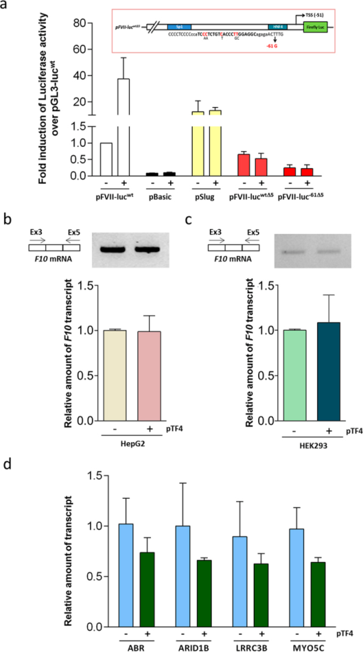 Evaluation of TF4 specificity and off-targets.(a) Trans-activation effects of pTF4 on the expression of pBasic (lacking the promoter) pSlug (carrying the unrelated ubiquitous Slug promoter) or F7 promoter variants with the mutated (5 out of 22 bp) TF4 target sequence (pFVII-lucwtΔ5, pFVII-luc−61Δ5) in HepG2 cells. (b,c) Results from conventional RT-PCR and RT followed by qPCR analysis of F10 mRNA isolated from HepG2 (b) or HEK293 (c) cells transfected with TF4 (+) or untransfected cells (−). The amplicons were separated on 2% agarose gel. (d) Relative transcript quantification of the predicted off-targets genes by qPCR. The data analyses were performed with Student's t-test comparing TF4-treated cells with untreated cells. The results are expressed as the mean ± standard deviation from at least three independent experiments.