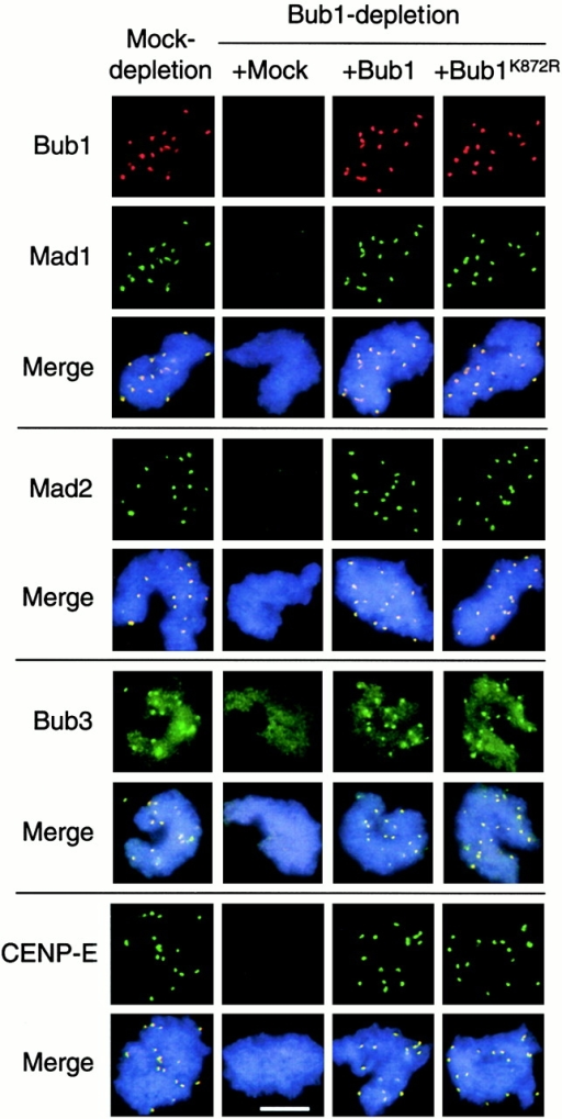 Bub1 and Bub1K872R restore kinetochore binding of Mad1, Mad2, Bub3, and CENP-E in Bub1-depleted extract. Sperm nuclei and nocodazole were incubated with mock-depleted extract or Bub1-depleted extract supplemented with mock, Bub1, or Bub1K872R translation as indicated on the top. Isolated chromosomes were incubated with rabbit antibodies against Mad1, Mad2, Bub3, or CENP-E as indicated on the left, followed by fluorescein-conjugated anti–rabbit antibody. Bub1 was then detected with biotinylated anti-Bub1 antibody and Texas red–conjugated streptavidin. For space conservation, pictures of Bub1 are shown only once for each type of extract. The merge pictures contain all three fluorochromes. Bar, 10 μm.