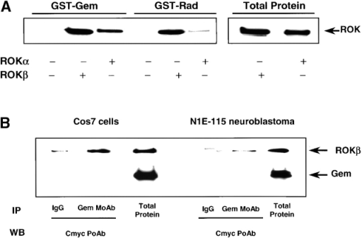 Interaction of Gem and ROK. (A) Interactions of Gem and Rad with ROK in vitro. Lysates from Cos cells transiently transfected with myc-tagged full-length ROKα or ROKβ were incubated with purified recombinant GST–Gem (GTPγS) or –Rad (GTPγS) bound to glutathione-Sepharose beads. ROK that cosedimented with Gem or Rad was shown by Western blot analysis with anti-myc antibody. (B) Interaction of Gem and ROKβ in vivo. Cos7 or N1E-115 cells were cotransfected with ROKβ and Gem. Cell lysates were subjected to immunoprecipitation with either anti-Gem monoclonal antibody or mouse IgG as a control for nonspecificity. Coprecipitated ROKβ was revealed by Western blot using anti-myc antibody.