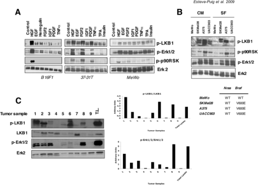LKB1Ser431 (Ser428 human) is phosphorylated in response to different growth factors, in BRAFV600E mutant melanoma cells and mouse tumor samples.(A) B16F1, 37-31T and MeWo cells were serum starved and treated with HGF (40 ng/ml), EGF (100 ng/ml), FGF2 (100 ng/ml), Herregulin (50 ng/ml), IGF-1 (50 ng/ml), PDGF (50 ng/ml), TNF-α (100 ng/ml) Insulin (100 nM) and TPA (200 nM). Fifty µg of total lysates were separated by SDS-PAGE and same membranes were incubated against the indicated antibodies. (B) MeWo (BRAF wild type), A375 (BRAFV600E), SKMel28 (BRAFV600E) and UACC903 (BRAFV600E) human melanoma cells were growth in complete medium (CM) or serum starvation (SF) conditions as indicated. Fifty µg of total lysates were analyzed by SDS-PAGE. The phosphorylation status of LKB1Ser428, p-Erk1/2Thr202/Tyr204 and p-90RSK Thr359/Ser363 is shown. Total Erk1/2 is used as a loading control. Cell genotypes are showed. (C) p-LKB1Ser431 and p-Erk1/2Thr202/Tyr204 levels in mouse melanoma tumor samples. Samples 1–7 primary tumors raised in HGF-UV irradiated transgenic mice. Samples 8 and 9 show xenograph tumors generated from 37-31E cells in FVB mice with high and low p-Erk1/2 levels, respectively. As a control fifty micrograms of protein from 37-31E melanoma cell line treated with HGF (40 ng/ml) for 10 minutes was added (Total lysates, T.L.). Same membrane was blotted against the indicated antibodies. Quantifications of phospho-proteins normalized against total protein are showed in the graphs below.