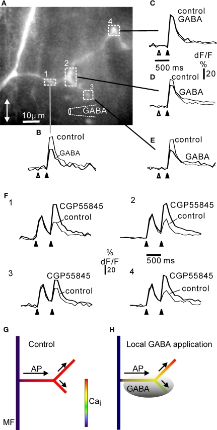 Local inhibition of calcium signalling in complex rosettes by focal activation of GABA B receptors.  (A) Complex rosette branching off a mossy fibre axon (cf. Figure 1). The position of the GABA pipette is indicated diagrammatically. For each region of interest indicated by the square boxes 1–4, the fluorescence signals to five electrical stimuli at 50 Hz (black arrowhead below dF/F traces) are shown as control and 300 ms after a GABA puff (open arrowhead). Each trace is the average of at least three trials. In location 4 (C), GABA had no effect, whereas in location 1–3 (B), (D, E) prior GABA application depressed the fluorescence response to subsequent electrical activation. The results suggest that proximal regions affected by GABA (1, 2) did not prevent the action potentials from propagating to more distal regions (4, (C)) unaffected by GABA. All regions showed a CGP55845-sensitive paired-pulse depression at inter-burst intervals of 500 ms (F), 1–4; panel numbers correspond to regions in (A). The rosette was confined to the side branches: the axon showed no fluorescence signal increase, while the whole extent of the side branches gave a fluorescence response to electrical stimulation, similar to other complex rosettes shown. The size of this rosette was comparable to the lateral extent of rosettes in fixed and dehydrated tissue (Figure 1). In other experiments (not shown) similar results were obtained in complex rosettes along the axon: local GABA application at one end of long rosette (cf. Mugnaini et al., 1974) resulted in local reduction in electrically-evoked fluorescence signals near the GABA-containing pipette. GABA pipette puff duration: 25 ms. Frame rate 10 Hz. CGP55845 concentration: 50 μM. All experiments in 30 μM picrotoxin. Double-headed arrow in (A) indicates the cerebellar sagittal direction. (G) Summary diagram of widespread calcium signal in control situation (no GABA application prior to electrical stimulation of mossy fibre), cf. panels (B–E). (H) Diagram of local GABA application prior to electrical activation (shaded grey; cf. panels (B–E)) reducing the calcium signal from some branches of the complex rosette. The depolarization, e.g. an action potential (AP), spreads (arrows) from the parent mossy fibre (MF) through rosette branches with calcium signals inhibited by local GABA B receptor activation, to branches showing no GABA B effect.