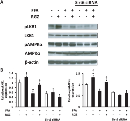 The effect of Sirt6 knockdown on phosphorylation of LKB1 and AMP-activated protein kinase (AMPK) in hepatocytes.(A) Representative western blots for phosphorylated LKB1 at Ser428 (pLKB1), LKB1, phosphorylated AMPKα at Thr172 (pAMPKα), pAMPKα, and β-actin. (B) Densitometric analysis of pLKB1 and pAMPKα. Levels of phosphorylated LKB1 at Ser428 and AMPKα at Thr172 were normalized to values for LKB1 and AMPKα, respectively. FFA, free fatty acids; RGZ, rosiglitazone. Data are means±SEM (n = 6 per group). *p<0.05 vs control (CON; white bar), †p<0.05 vs FFA alone.