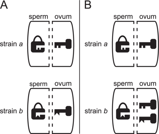 How bidirectionally and unidirectionally incompatible Wolbachia strains are represented in the lock-key-model.(A) strains  and  are bidirectionally incompatible: Neither  nor  has the key to each other's lock. (B)  and  are unidirectionally incompatible:  has the key to 's lock, but  does not have the key to 's lock.