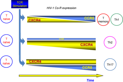 HIV-1 replication and co-receptor use in naive, memory and Th subsets. Both Naive and Th2 cells are characterized by high level of CXCR4 expression that is upregulated by IL-4. Memory and Th1 cells show surface levels of CCR5 higher than those of CXCR4, whereas Th17 cells express both Co-R.