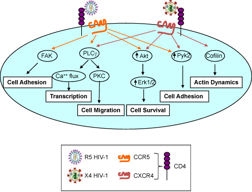 Differential cell activation pathways triggered by R5 and X4 HIV-1 in CD4+ T cell. Both R5 and X4 HIV-1 gp120 Env engagement of CD4 and Co-R trigger signal transduction events leading to cell activation, host gene transcription, cell migration, survival and adhesion. R5 HIV-1 specifically induces adhesion via activation of FAK whereas X4 viruses modulate actin dynamics via activation of cofilin.