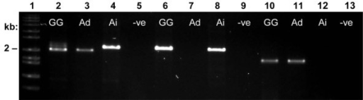 PCR amplification of Ara h 1 isoforms on 1% agarose gel. Lane 1: DNA size standard. Lanes 2-5: primers 1306/1307 amplify both isoforms of Ara h 1. Lanes 6-9: primers 1306/1308 amplify only Ara h 1.01. Lanes 10-13: primers 1306/1309 amplify only Ara h 1.02. GG = A. hypogaea cv. Georgia Green, Ad = A. duranensis (A genome), Ai = A. ipaensis (B genome), -ve = negative control.