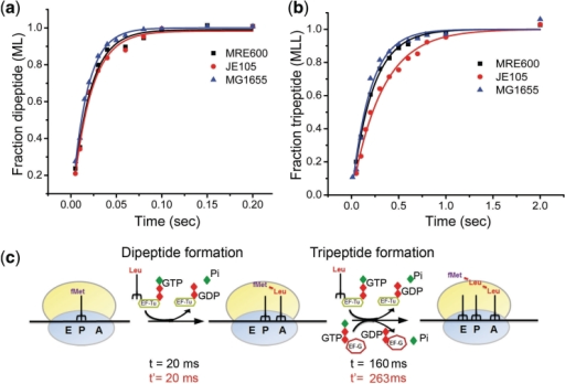 Dipeptide and tripeptide formation experiments; scheme of translation elongation. Comparison of the MRE600 (black trace), MG1655 (blue trace) (both contain two L12 dimers) and JE105 (red trace) (single L12 dimer) ribosomes in dipeptide (a) and tripeptide (b) formation assays. (c) Schematic representation of different steps of elongation showing the average time analysis for by MG1655/MRE600 (in black) and JE105 (in red) ribosomes. The average time for EF-G driven steps was estimated as [1/kobs (tripeptide) − 2 (1/kobs (dipeptide))].