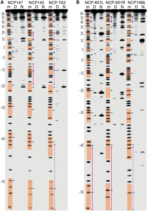 KMnO4 footprinting reveals DNA context-dependent distortions. (A and B) DNA samples, comprising six different constructs, correspond to purine sequencing standard (m) or naked DNA (D) and NCP (N) that were subjected to permanganate reactivity analysis. Minor groove-inward-facing nucleotides (highlighted in orange), regions of DNA stretching (magenta arrows; dashed for mixed stretched and non-stretched configurations) and the central nucleotide (blue dot) are based on the crystal structure assignments (Figure 1B).