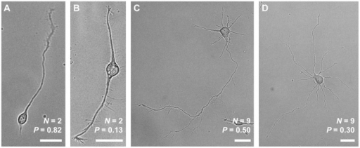 Bright-field micrographs of four different neurons.Neurite count (N) and polarity (P) using Eq. (1) are also indicated for each neuron. A and B show examples of neurons with two neurites that are relatively more (A) or less (B) polarized. C and D similarly show neurons with many neurites that are relatively more (C) or less (D) polarized. The image in A was taken 28.5 h after plating, and B–D were taken at 52.5 h after plating. All scale bars are 25 µm.