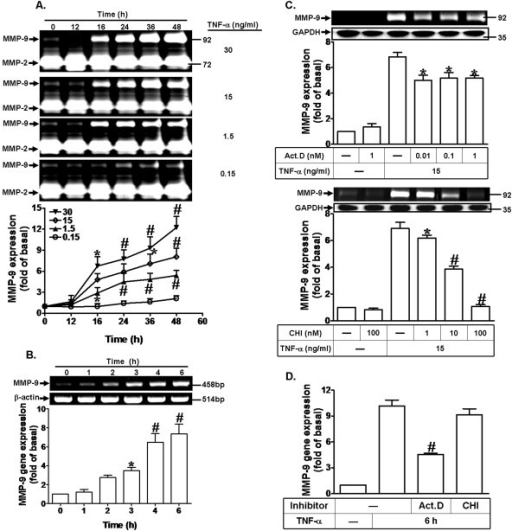 TNF-α induces MMP-9 expression through transcription and translation levels. (A) MC3T3-E1 cells were incubated with various concentrations of TNF-α for the indicated time intervals. The conditioned media were collected and analyzed by gelatin zymography. The proteolytic activities of MMP-9 and MMP-2 were manifested as horizontal white bands on a blue background, and the expression of MMP-2 served as an internal control. (B) Cells were treated with TNF-α (15 ng/ml) for various time intervals. The total RNA were collected and analyzed by RT-PCR and real-time PCR. (C) Growth-arrested cells were pretreated with various concentrations of either Act. D or CHI for 1 h and then incubated with TNF-α (15 ng/ml) for 24 h. The conditioned media were collected and assayed by gelatin zymography. The cell lysates were analyzed by Western blot to determine the expression of GAPDH as an internal control. (D) Cells were pretreated with Act.D (1 nM) or CHI (100 nM) for 1 h and then incubated with TNF-α (15 ng/ml) for 6 h. The isolated RNA samples were analyzed for the level of MMP-9 mRNA by real-time PCR. Data are expressed as mean±SEM of three independent experiments. *P < 0.05, #P <0.01, as compared to the cells treated with vehicle (A,B) and TNF-α alone (C,D).