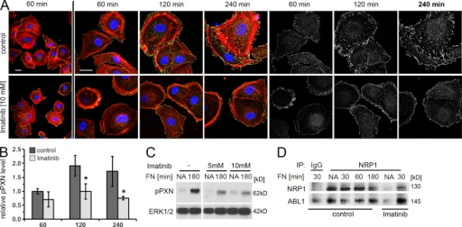 ABL1 kinase activity is essential for PXN Y118 phosphorylation in HDMECs in vitro. (A–C) To examine if ABL1 kinase activity is essential for PXN phosphorylation, we performed immunofluorescence labeling (A and B) and immunoblotting (C) of HDMECs treated with vehicle or Imatinib 30 min before and during plating on FN for the indicated times. In A, pPXN Y118 (green) is shown together with phalloidin (red) and DAPI (blue) on the left and as single channel in grayscale on the right. Bars, 20 µm. pPXN pixel intensity was quantified in B and expressed as fold change in knockdown cells at the indicated time points relative to control cells at 60 min (mean ± SD of 4 independent experiments). *, P < 0.05, Student's t test. (C) Immunoblotting confirmed that Imatinib treatment reduced pPXN Y118 levels. Total ERK1/2 levels were used as a loading control. (D) To examine if endogenous NRP1 and ABL1 form a complex in ECs, we performed coimmunoprecipitation of endogenous proteins from lysates of HDMECs, treated with vehicle or 10 µM Imatinib for 30 min, detached, and plated on FN for the indicated times in the presence of Imatinib. Immunoprecipitation using ABL1 antibody was followed by immunoblotting performed for NRP1 and ABL1.