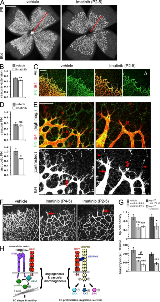 ABL1 is essential for vessel spouting and branching in the retina. (A and B) P6 retinal vasculature of mice treated with vehicle or Imatinib from P2 to P5 was immunolabeled for IB4. Bar, 1 mm. Vascular extension from the retinal center to the vascular front is indicated with red arrows. (B) Vascular extension after Imatinib treatment was quantified as the distance of the IB4-positive front from the retinal center relative to the retinal radius (vehicle, n = 7 mice; Imatinib, n = 4 mice; **, P < 0.01, Student's t test). Error bars show SD. (C–E) P6 retinal vasculature of mice treated with vehicle or Imatinib from P2 to P5 was immunolabeled for IB4 and FN. Bars: (C) 200 µm; (E) 50 µm. Note reduced FN staining of astrocyte processes ahead of the vascular front (Δ), whereas the vasculature was prominently stained for FN. (D) Quantification of FN pixel intensity in Imatinib-treated retinas in 0.06-mm2 areas of astrocyte networks ahead of the vascular front (fold change compared with controls; n = 3 mice each; *, P < 0.05, Student's t test) and in vascular areas, isolated with an IB4-guided IMARIS mask (FN relative to IB4 pixel intensity; n = 3 mice each; P > 0.05, Student's t test). Error bars show SD. Higher magnification of the areas indicated with dotted squares in C demonstrates abnormal filopodia and sprout morphology in Imatinib-treated retinas. The IB4 single channel is shown in grayscale below each panel after contrast enhancement to highlight filopodia. The arrow indicates an abnormally long and wide sprout without lateral protrusions or connections. Examples of abnormally thin, wavy, and misoriented filopodia are indicated with arrowheads. Note that the interaction of tip cells with microglia (wavy arrow) is not prevented by Imatinib treatment. (F and G) IB4-labeled P6 retinal vasculature of mice treated with vehicle or Imatinib by daily injections on P4 and P5 or from P2 to P5. Bar, 200 µm. Examples of abnormally long and wide sprouts without lateral protrusions or connections are indicated with arrows. (G) Quantification of filopodial bursts per vascular front length as an indicator of tip cell number, and quantification of branch points behind the vascular front (vehicle, n = 7 mice, vs. Imatinib P4-5, n = 3 mice, or Imatinib P2–5, n = 4 mice; ***, P < 0.001 vs. vehicle control, ANOVA with Tukey's comparison test; #, P < 0.05 for P4–5 vs. P2–5 treatment, Student's t test; P2–5 tamoxifen-injected Nrp1fl/fl mice lacking Cre, n = 8, or expressing Pdgfb-iCre-ERT2-Egfp, n = 6; *, P < 0.05; ***, P < 0.001 versus control, Student's t test). Error bars show SD. (H) Schematic representation of the NRP1–ABL1–PXN pathway and its synergism with known VEGF signaling pathways transduced by VEGFR2.