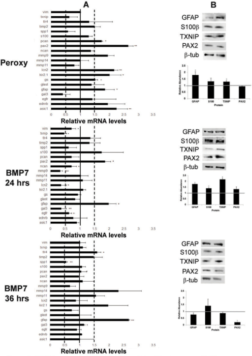 Bone morphogenetic protein 7 (BMP7) treatment of MIO-M1 Müller glial cell line increases glial fibrillary acidic protein (GFAP) expression. A: Expression patterns for a panel of markers associated with reactive gliosis were compared in human MIO-M1 Müller glial cells treated with sodium peroxynitrite, or BMP7 for 24 or 36 h. For each experimental treatment, cells were treated with vehicle, sodium peroxynitrite, or BMP7 and real-time quantitative PCR (RT-qPCR) was undertaken. Levels of mRNA were normalized to internal control β2 Microglobulin, and values were plotted relative to control levels. Each sample was run in triplicate and experiment repeated 3 times for each gene. Values represented are means±SEM. Unpaired t test was performed between the control and treated groups with * denoting a p value<0.05 and ** denoting a p value<0.005. Any change above or below 1.0 indicates a change relative to control values. Peroxynitrite-treated MIO-M1 cells showed a statistically significant increase above the 1.5-fold level in paired-homeobox 2 (Pax2), acid sensing ion channel 1 (Asic1), lipocalin2 (Lcn2), potassium inwardly rectifying channel 2.1 (Kir2.1), Gfap, and phosphacan (Pcan) in comparison to vehicle-treated cells. Twenty-four hours following BMP7 addition, the MIO-M1 cells only showed a statistically significant increase above the 1.5-fold level in Gfap and Pax2, and a decrease in Txnip, galectin 3 (Gal3), Lcn2, and matrix metalloproteinase 9 (Mmp9). At the 36 h time point Gfap, and toll-like receptor 4 (Tlr4) levels of mRNA were increased above the 1.5-fold level in comparison to vehicle-treated cells and Spp1 was decreased. B: western blot analysis was performed for GFAP, S100β, TXNIP, and PAX2, with β-TUBULIN used as a loading control. Densitometric data shown are means+/−SEM of 3 trials. Unpaired t test was performed between the control and treated groups with * denoting a p value<0.05 and ** denoting a p value<0.005. Densitometric analysis of the blots showed a statistically significant increase in protein levels of GFAP and TXNIP in the peroxynitrite treatment. A significant increase in levels of GFAP, S100β, and TXNIP was observed in the 24 h BMP7 treatment, while a significant decrease was observed in PAX2 levels in the 36 h bmp7 treatment.