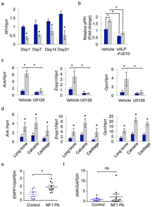 Uncontrolled Ank, Enpp1, Opn expression and increased pyrophosphateproduction in Nf1–deficient osteoblasts(a) Nf1 mRNA expression in BMSCs differentiated for 7, 14and 21 days (n = 3). (b) Extracellular PPiconcentration in the conditioned medium of undifferentiated BMSCs (n= 3). (c) Ank, Enpp1 andOpn mRNA expression in BMSCs treated with vehicle (DMSO) or U0126 for24 h (n = 3). (d). Ank,Enpp1 and Opn mRNA expression in long bones, calvariaeand epiphyses of 3 week–old WT (blue bars) and Col2-Nf1 KO mice(grey bars)(n = 6). (e, f) ENPP1and ANK mRNA expression in bone marrow adherent cells from control(n = 6) and NF1 pseudarthrosis (PA, n= 9) biopsies. Blue bars: BMSCs from WT mice, grey bars: BMSCs fromCol2-Nf1 KO mice, *:p < 0.05. ns:non–significant.