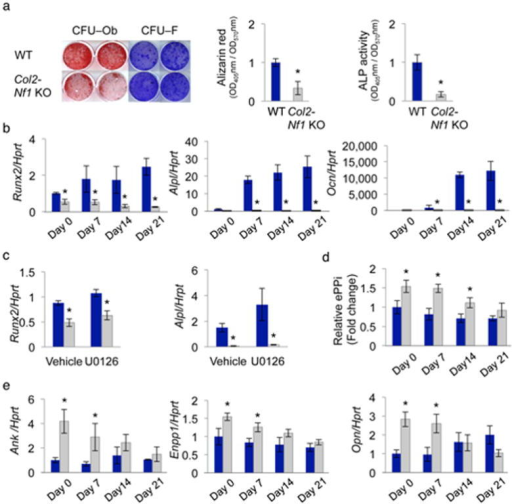 BMP2 does not promote differentiation in Nf1–deficient BMSCsbut exacerbates their mineralization deficit(a) BMSC differentiation analyzed by Alizarin red–S(differentiation/mineralization, CFU–Ob) and crystal violet (cell number,CFU–F) staining (n = 3) and ALP activity (n= 3), following vehicle or BMP2 treatment. (b)Phospho–Smad1/5 induction in serum–starved BMSCs following BMP2 treatmentfor 1 h. Smad1/5 and β–actin served as loading control. (cand d) Alpl, Runx2, Col1a1, Ank, Enpp1 andOpn mRNA expression following BMP2 treatment for 2 weeks (n= 3). (e) Extracellular PPi relative concentration(normalized to protein concentration) in the conditioned medium of BMSCs treated with BMP2for 24 h (n = 3). (f and g) BMSCdifferentiation analyzed by Alizarin red–S (differentiation/mineralization,CFU–Ob) and crystal violet (cell number, CFU–F) staining (f,n = 3) and ALP activity (g, n= 3) following treatment with vehicle or BMP2 or U0126 or both for 2weeks. Blue bars: WT mice; grey bars: Col2-Nf1 KO mice.*:p < 0.05 versus WT in the same treatment group;#:p < 0.05 versus vehicle in the same genotype group.