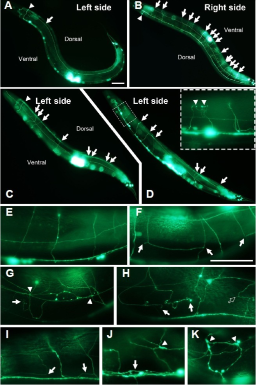 Defects of axonal navigation in pxn-1 mutants and overexpressing animals. In wild-type transgenic animals, ALN, cholinergic neuron (arrow) and DD1 and VD2 neuron [arrow head, the same applied to (B, C)] were located on the left side (A) and arrows represented GABAergic neurons (VD3-VD13 and DD2 - DD6) on the right side (B). In pxn-1 mutant and overexpressing worms (Ppxn-1::pxn-1::GFP), motor neurons [arrows in (C, D) respectively] were extended on the wrong side, the left. Inset of (D) was the enlarged image of the dotted box and the arrowheads showed over-branching of nerve ends. Representative neuron images of wild-type (E), pxn-1 mutant (F, I), Ppxn-1::pxn-1::GFP (G, H), and Phs::pxn-1::GFP (J, K): axonal breakage [arrows in (F) and open arrow in (H)], prematurely branching [arrows in (G) and (H)], tangling [arrowheads in (G, J, and K)], defasciculation [arrows in (I, J)]. Scale bars, 50 μm in A–D and E–K.